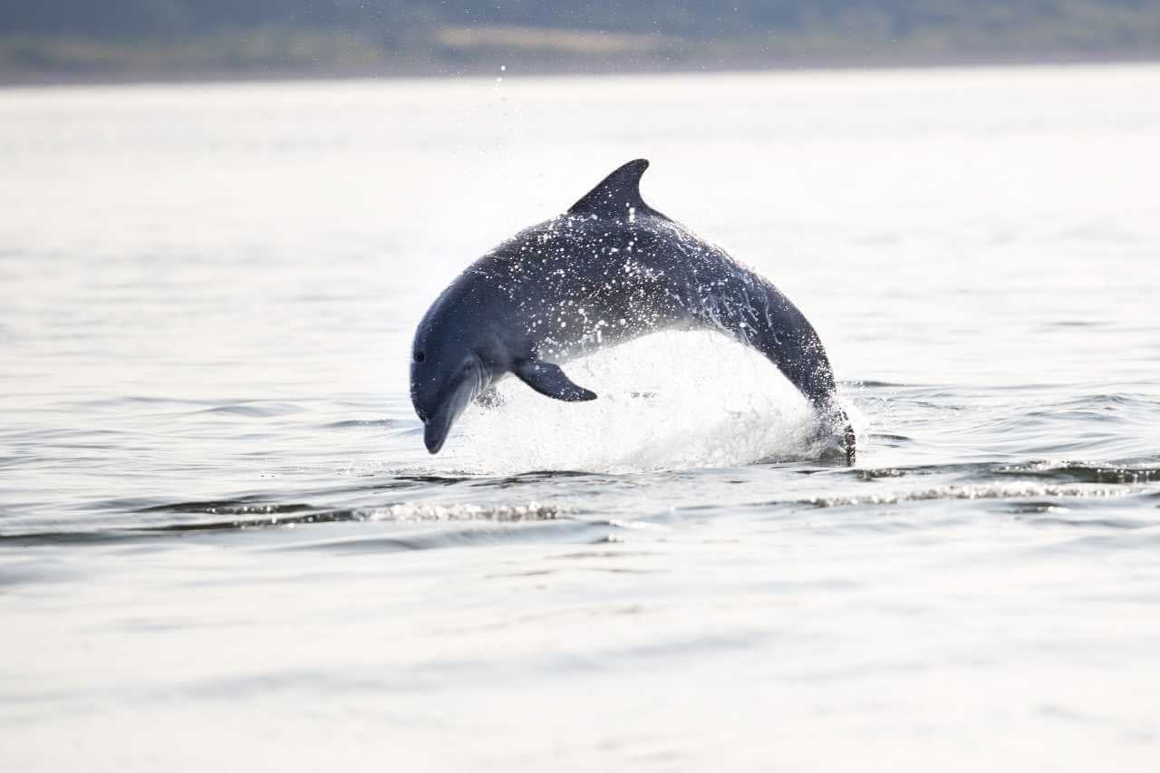 Bottlenose dolphin leaps out of Scottish waters